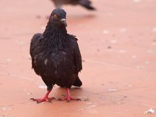 Free Black Pigeon Of Thailand Stock Images - 18721164