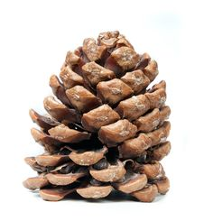 Pinecone Stock Image