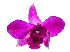 Free Single Purple Orchide Flower Royalty Free Stock Photography - 18722987