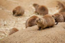 Prairie Dog Sentry Royalty Free Stock Photo