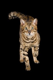 Free Beautiful Spotted Bengal Royalty Free Stock Photo - 18723765