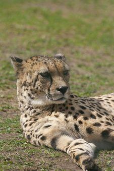 Free Cheetah Stock Photos - 18724123