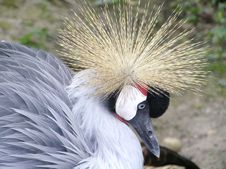 Black Crowned Crane Stock Photography