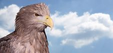 Free White-tailed Eagle Stock Images - 18724174