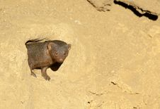 Free Dwarf Mongoose Stock Image - 18724631