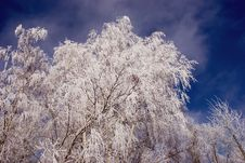 Free Birch Branches With Hoar An Sky Royalty Free Stock Photo - 18724955