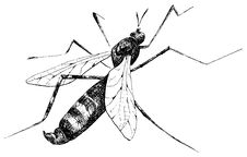 Free Detailed Mosquito Pencil Drawing Style Royalty Free Stock Photography - 18726327
