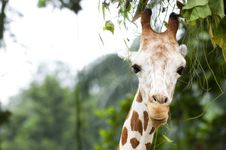 Free Giraffee Gracing Leaves Stock Image - 18726371