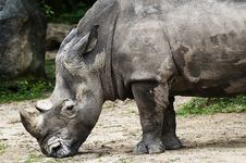 Free Rhino Mulling Down Stock Image - 18726551
