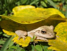 Free Shy Frog Stock Image - 18726571
