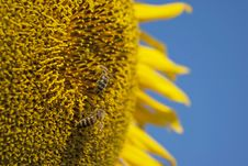Free Sunflower Bee Stock Images - 18727364