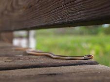 Eastern Ribbon Snake Stock Images