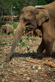 Free Sri Lanka: Wounded Pinnawela Elephant Stock Images - 18727664