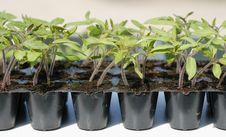 Free Tomato Seedling In Pot Royalty Free Stock Image - 18727706