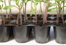 Free Tomato Seedling In Pot Royalty Free Stock Photo - 18727765