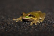 Free Masked Tree Frog, Costa Rica Royalty Free Stock Photos - 18728608