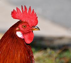 Free Red Rooster Stock Images - 18728934