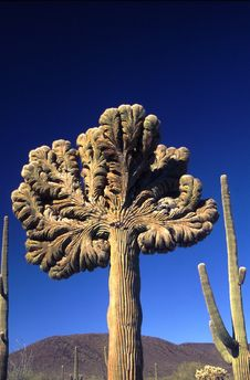 Free Cristate Saguaro Royalty Free Stock Photos - 18728948