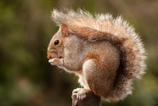 Free Grey Squirrel Stock Photos - 18729293