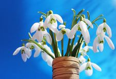 Free Snowdrops Royalty Free Stock Images - 18729619