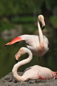 Free Flamingo Royalty Free Stock Photo - 18729685