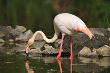 Free Flamingo Stock Photography - 18729692