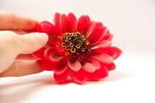 Free Big Red Flower Royalty Free Stock Images - 18729999