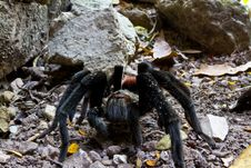 Free Tarantula Stock Photography - 18732952