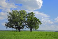The Oak In The Field. Royalty Free Stock Photo
