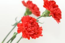 Free Three Red Carnations Stock Images - 18733574