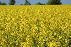 Free Yellow Rapeseed Field. Stock Photography - 18734032