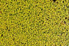 Free Duckweed Aquatic Plant Royalty Free Stock Photos - 18734638