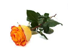 Free Yellow Rose Stock Photos - 18735033