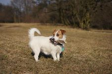 Free Jack Russel Terier Stock Images - 18735864