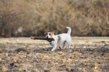Free Jack Russel Terier Stock Photo - 18735890