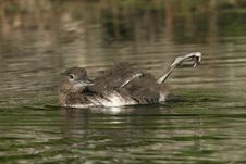 Free Common Loon Chick Stretching Its Foot Stock Photos - 18736023