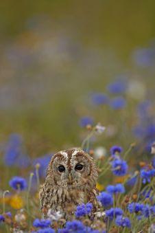 Free Tawny Owl Royalty Free Stock Images - 18736369
