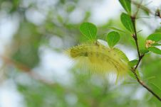Free Caterpillar On A Branch Stock Photography - 18736682