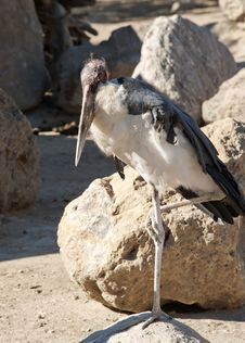 Free Marabou Stork Royalty Free Stock Image - 18738676