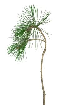 Free Pine Twig Stock Image - 18739261