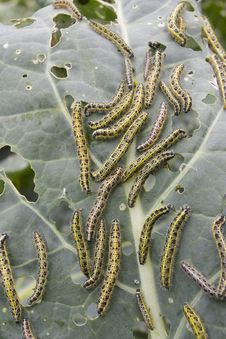 Caterpillars Eating Vegetable Leaf Stock Photos