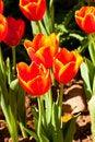 Free Tulip Stock Image - 18746621