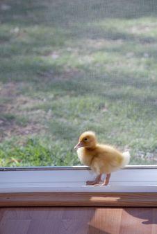 Free Ducky Royalty Free Stock Photos - 18740188