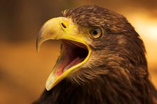 Free Cry Eagle Stock Image - 18742361