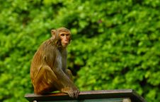 Free Macaques Stock Image - 18743441