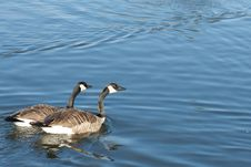 Free Canada Goose Pair Stock Photos - 18744813