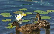 Free Ducks And Lily Royalty Free Stock Photography - 18744957