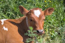 Free Calf Stock Photos - 18745233