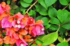 Free Bougainvillea Royalty Free Stock Image - 18745496