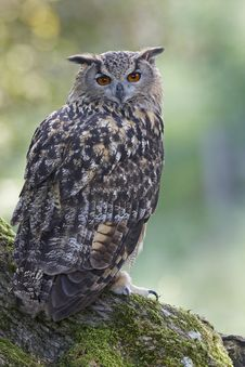 Free Eagle Owl Stock Images - 18747794